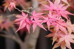 Pink Acer