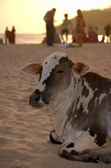 Cow on the beach - Goa (Militarydiver) Tags: beach cow sand goa