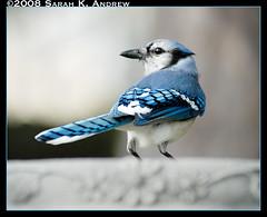 Blue Jay (Rock and Racehorses) Tags: blue bird birdbath jay nj bluejay stunningplanetearth