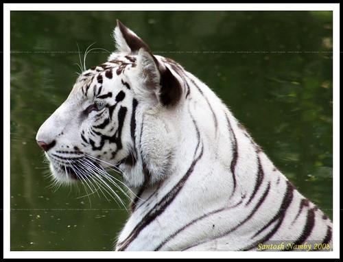 White Tiger (Panthera tigris)