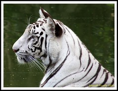 White Tiger (Panthera tigris)