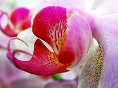 O.r.c.h.i.d (✿ Graça Vargas ✿) Tags: orchid flower macro explore orquídea interestingness374 i500 graçavargas falenópsis phalaenopsisxhybridus ©2008graçavargasallrightsreserved 56418290711