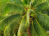 Coconut Leaves (gahenty) Tags: leaves coconut branches philippines olympus 50200mm swd e330 gahenty
