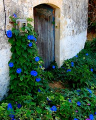 Cretan blue (Peace Correspondent) Tags: flowers blue summer beautiful d50 island vines flora europe mediterranean kreta eu greece crete southerneurope blueflowers kriti fv20 greekisland views500 5photosaday apokoronas agioipantes agiapantes