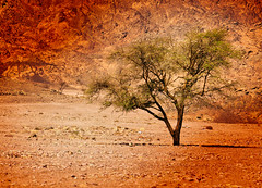 Desert Tree (Siuloon) Tags: holiday color tree canon desert egypt sharmelsheikh uc sharm gmt wakacje egipt kolor drzewo goldenglobe canon7020028l eos30d pustynia aplusphoto flickrestrellas thebestofday gnneniyisi mygearandmepremium mygearandmebronze mygearandmesilver mygearandmegold mygearandmeplatinum mygearandmediamond