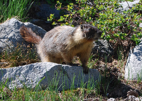 120-Waca Camp Marmot