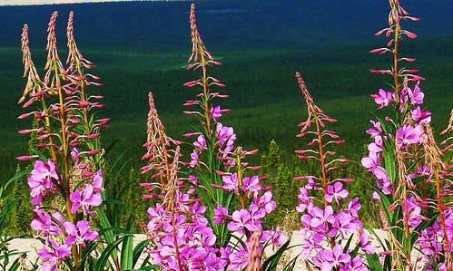Fireweed by David Cartier.