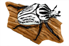Goliath Beetle (Roger D Hall) Tags: art animal illustration drawing wildlife insects beetles coleoptera orientalis goliathus