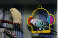 Izzy and Kirby (andylangager) Tags: canon budgie parakeet relebxt