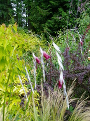 Dierama in Mixed Bed