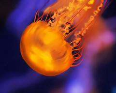 Jellyfish Glow (Dean of Photography) Tags: aquarium jellyfish bigmomma photofaceoffwinner pfogold yourock1stplace herowinner