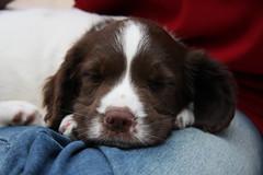 Springer Spaniel Puppy age 7 weeks IMG_8120 (tonylanciabeta) Tags: old dog cute dogs puppy photography photo harrison 7 tony spaniel springer weeks tonyharrison wwwtonyharrisoncouk