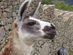 Machu Picchu - hello llama