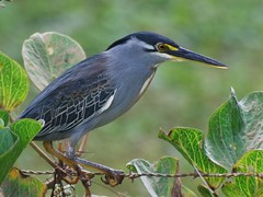 Striated Heron (jvverde) Tags: bird beach nature birds natureza aves ave avifauna thegambia striatedheron butoridesstriata kololibeach gmbia