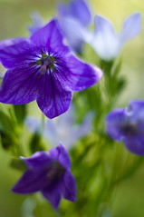 Balloon Flowers (Nana* <salala817>) Tags: flowers blue flower dof bokeh balloonflower balloonflowers naturesfinest   theperfectphotographer