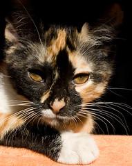 """Sitting in the summer sun"" - ft. Bastet (MrOmega) Tags: portrait sun sol animal cat canon retrato omega sigma porträt gato gata bastet"