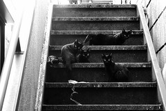 four black cats on the steps (jpkuak) Tags: bw cat tokyo suginami catspotting thelittledoglaughed
