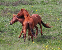 Pain in the Neck (jkeenan501) Tags: horses horse playing horseplay inmontana ofmontana