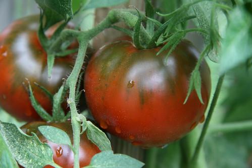 tomango tomato