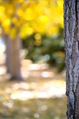 Old Strathcona Autumn Bokeh (Mattlong.) Tags: autumn canada tree fall nature leaves edmonton seasons bokeh lawn sunny alberta daytime wideopen oldstrathcona albedoeffect