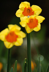 Daffodil Ipi Tombi (digsinthedirt) Tags: flowers summer orange plants plant flower green nature beautiful yellow contrast garden spring pretty bright grow daffodil bloom strike thumb blooms narcissi gardener greenthumb grower tombi ipi
