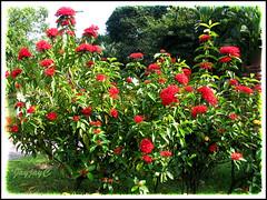 Blooming shrubs of Ixora duffii cv. 'Super King' at our neighborhood