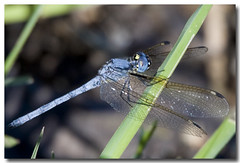 Dragonfly 8 (Len Abrams, ARPS - Photographer) Tags: africa game nature canon season insect eos dragonfly wing reserve delta images safari swamp canon5d botswana abrams canoneos wetland okavango oddballs seasonimages