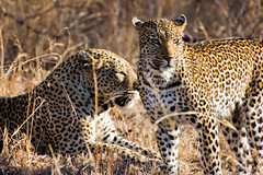 leopards (sausyn) Tags: park male green female southafrica leopardo eyes looking safari occhi leopard beatiful kruger verdi gamedrive leopards leopardi sudafrica sabisand bellissimo kirkmanskamp