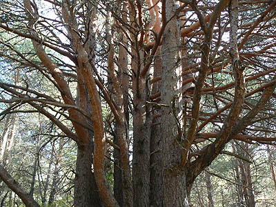 arbre à 10 troncs.jpg