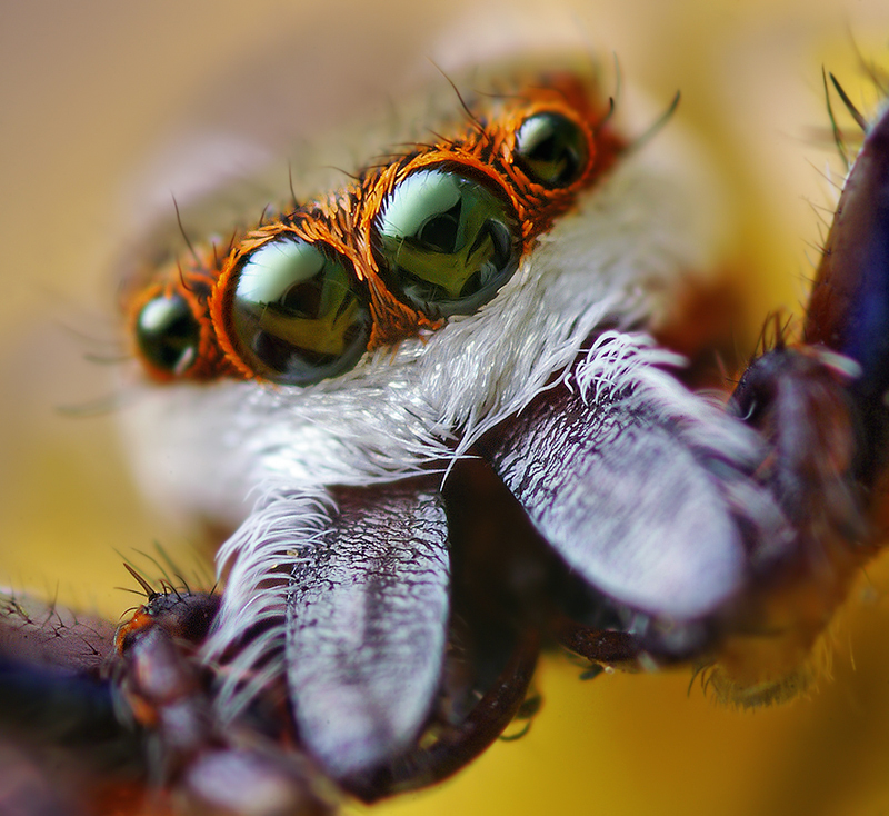 Spider close-up: Hentzia palmarum Jumping Spider