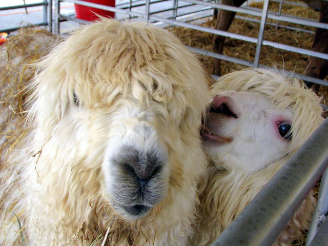 100 Things to see at the fair #70: Alpacas