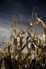 Corn (memekode) Tags: blue sky fall corn nikon colorado stock harvest sigma anderson maze farms d200 maize frederick muted 2880mm