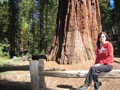 Mariposa Grove of Giant Sequoias (balabala) Tags: yosemite aunty mariposagroveofgiantsequoias