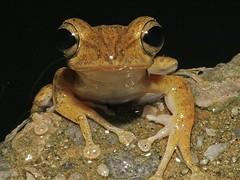 Common Tree Frog (kwokwai76) Tags: krabiphuket polypedatesleucomystax fourlinedtreefrog
