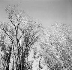 Reaching the sky (RalM.) Tags: camera bw 120 6x6 film v porto german agfa pretoebranco camaras ral agnar isolette s dantas adox classiccameras coleco cmarasclssicas ralm