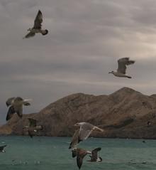 birds (silangel) Tags: sea bird grey fly tenger sirly szrke madr flickrchallengegroup repl
