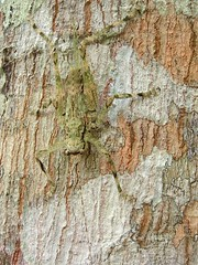 Orthoptera (Camouflaged Grasshopper) (Arthur Chapman) Tags: peru amazon insects camouflage grasshopper iquitos orthoptera insecta taxonomy:class=insecta taxonomy:order=orthoptera geocode:accuracy=2000meters geocode:method=googleearth geo:country=peru allpahuayoreserve