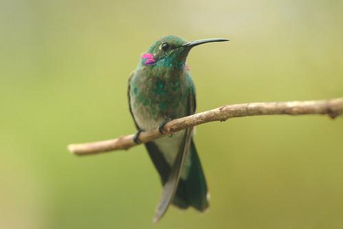 Beija-flor-de-orelha-violeta / White-vented Violet-ear (Colibri serrirostris)