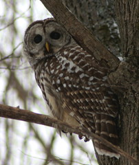 Hello There (Edith Maracle) Tags: owl prey vulture bard markings barred lemoines canonxsi