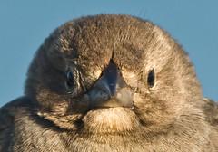 Chubby Sparrow (Eliya) Tags: sanfrancisco bird animal fortpoint ftpoint
