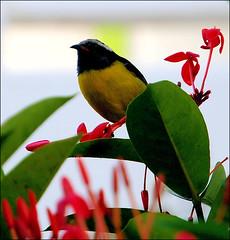 In the Bloom (ShacklefordPhotoArt) Tags: bird island carribean antigua avian bananaquit coerebaflaveola sugarbird honeycreepers vosplusbellesphotos