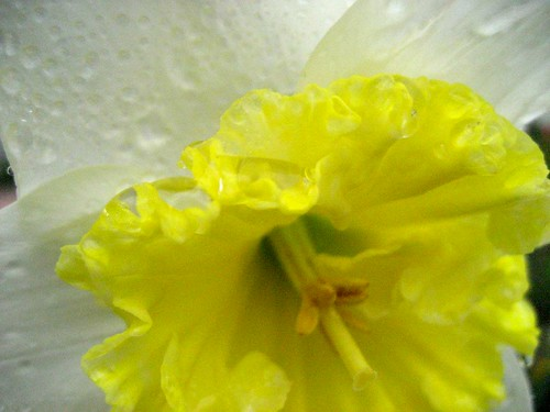 Spring Daffodil at San Damiano