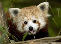 Red Panda (Ailurus Fulgens) - susan yeomans