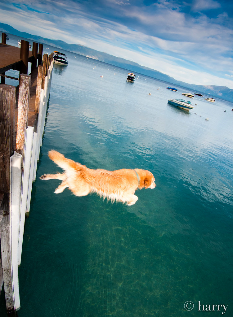Dog Launch From Pier, Rubicon Bay, Lake Tahoe California