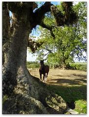 Umbu (Eliana Lcio) Tags: horse tree rvore cavallo cavalo umbu