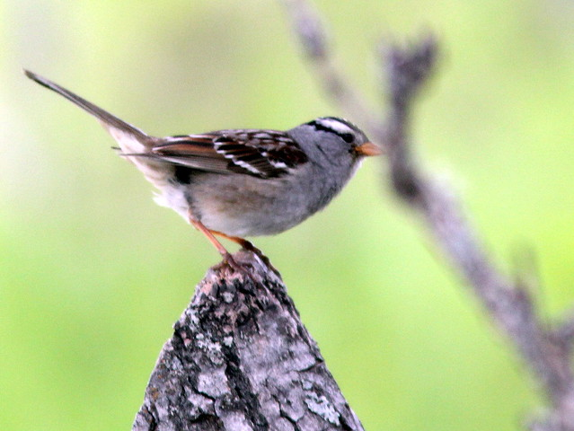 White-crowned Sparrow 20110621