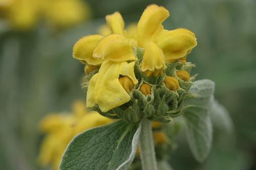 Phlomis fruticosa - Jersalem Sage