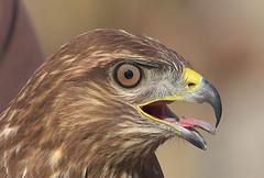 Aligot-Busardo-ratonero-Common Buzzard-Buteo-buteo