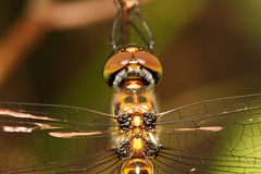 (aussiegall) Tags: macro bug insect fly wings eyes legs dragonfly odonata abdomen 52weeksaboutuweek8