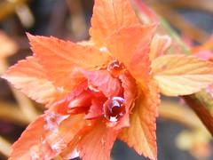 Orange raindrops. (stormlover2007) Tags: new macro nature leaves raindrops spirea platinumphoto diamondclassphotographer flickrdiamond brillianteyejewel